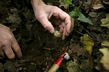 Black truffle found in the ground in Roddi, Piedmont, Italy.