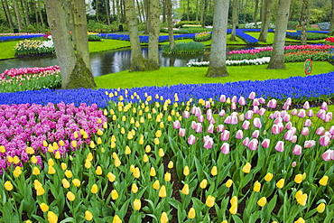Tulips, hyacinth and other flower species growing at Keukenhof Gardens, Lisse, Netherlands.