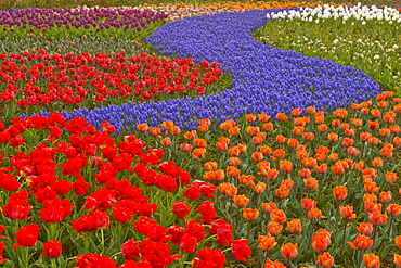 Hyacinth and tulips planted in the Keukenhof Gardens.