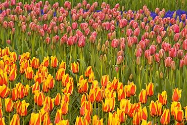 Tulips growing in rows at Keukenhof Gardens, Lisse, Netherlands.