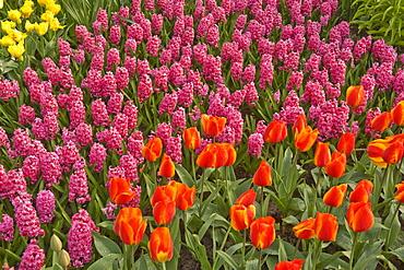 Tulips and hyacinth growing at Keukenhof Gardens, Netherlands.