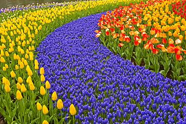 Tulips and hyacinth growing in patterns at Keukenhof Gardens, Lisse, Netherlands.