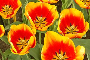 Tulips blooming in Keukenhof Gardens, Lisse, Netherlands.