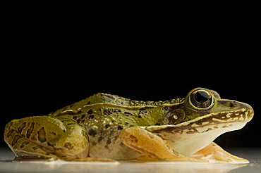 Southern Leopard Frog Rana sphenocephala (Rana utricularia) is common to most Eastern states. A nocturnal animal, it breeds all year round and can be found near any freshwater location. (macro studio)