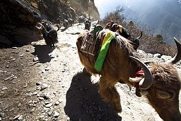 A yak train kicking up dust in Nepal.