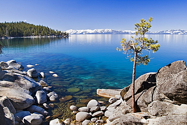 A lone pine tree on the rocky shore of Lake Tahoe in Nevada