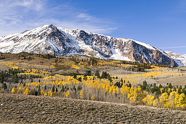 Yellow fall aspen trees beneath a snowy mountain at sunrise in the Sierra mountains of California