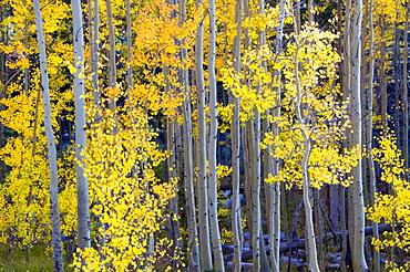 Aspens turn bright yellow and orange in the fall in Lake Tahoe, NV.