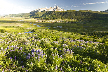 Lupine flowers along the Lupine Loop Trail with the town of Crested Butte,  Whetstone Mountain adn the Slate River in the background, Colorado.