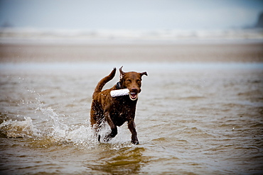 A Chesapeak Bay Retriever fetches a chew toy.