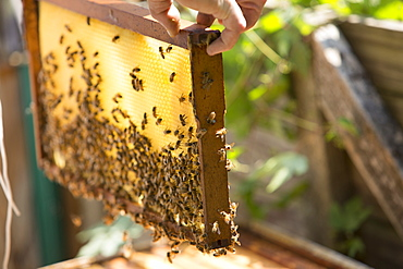 A beeswax honeycomb frame crawling with honeybees from a beehive, Huntingdon Valley, Pennsylvania, United States
