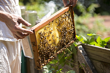 Man?s hands holding a beeswax honeycomb frame crawling with honeybees from a beehive, Huntingdon Valley, Pennsylvania, United States