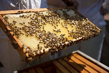 Holding a beeswax honeycomb frame crawling with honeybees from a beehive, Huntingdon Valley, Pennsylvania, United States