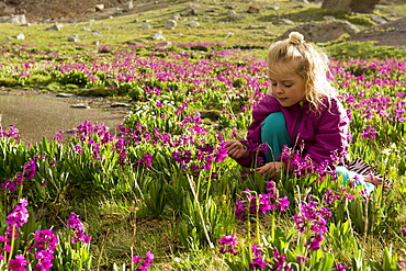 A young girl sitting in a Parry's Primrose meadow at a small tarn near Columbine Lake in the San Juan National Forest, Silverton, Colorado, Silverton, Colorado, usa