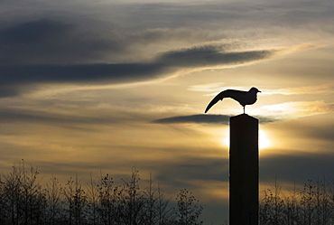 Black Headed Gull Larus Ridibundus Silhouetted adult stretching at sunrise, Slimbridge,UK, Bristol, south Gloucestershire, England