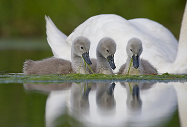 Mute Swan.Cygnus olor.Pair of cygnets with single adult.Bristol,UK, Bristol, South Gloucestershire, England