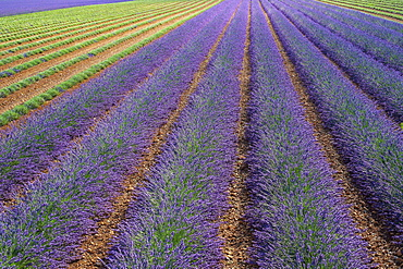 Lavender field after workers began harvesting the first rows of lavender in early July, Plateau de Valensole, Puimoisson, Provence-Alpes-Côte d'Azur, France