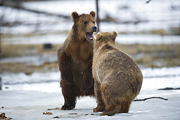 Kodiak Bear Cubs in the Alaska Wildlife Conservation Center, Girdwood, Alaska.