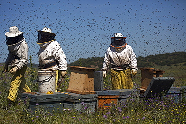 Beekeepers work in a swarm of honey bees buzzing an flying in Los Alcornocales Natural Park, Cadiz province, Andalusia, Spain