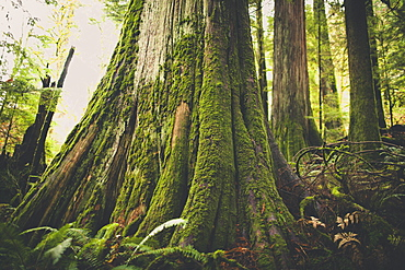 Old growth forest in British Columbia, Canada.