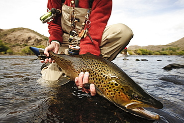 Angler releasing a large brown trout back into the Rio Limay in Patagonia near Bariloche, Argentina.