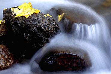 Golden cottonwood leaves on a rock in McGee Creek, Eastern Sierra, CA
