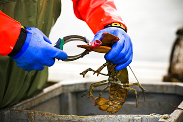 A fisherman puts a rubber band on a lobster claw while fishing off the coast of Prince Edward Island in Canada.