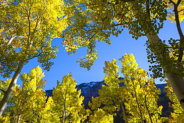Backlit quaking aspen trees (Populus tremuloides) in Telluride, Colorado.