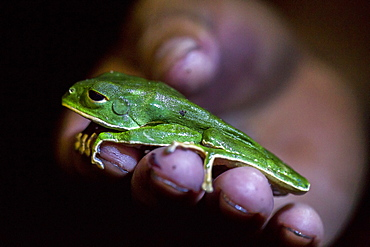 A monkey tree frog rests on hand on a in Peru's Amazon Jungle.