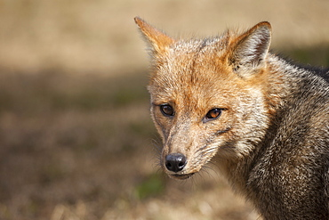 A Patagonian Fox (Lycalopex griseus) in Chile's Torres del Paine National Park.