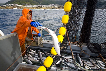 "08/15/08 Crew member Alexai Gamble hauls in the net while sein fishing on Captain Larry Demmert's boat just off of the outer islands west of Prince of Whales Island in SE Alaska. This is a native fishing hole. At this time they were catching mostly ""humpies"" or pink salmon, United States of America"