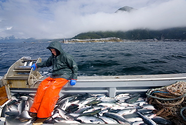 "08/15/08 Crew member Nick Demmert puts salmon into the fish hold while sein fishing on Captain Larry Demmert's boat just off of the outer islands west of Prince of Whales Island in SE Alaska. This is a native fishing hole. At this time they were catching mostly ""humpies"", United States of America"