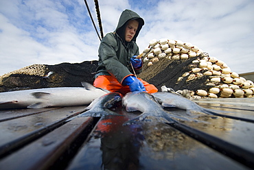 "08/15/08 Crew member Nick Demmert sets aside a few of the best of the day's catch for himself while sein fishing on Captain Larry Demmert's boat just off of the outer islands west of Prince of Whales Island in SE Alaska. This is a native fishing hole. At this time they were catching mostly ""humpies"", United States of America"