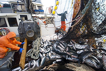 "Crew members Alexai Gamble and Nick Demmert hauls in the net while sein fishing on Captain Larry Demmert's boat just off of the outer islands west of Prince of Whales Island in SE Alaska. This is a native fishing hole. At this time they were catching mostly ""humpies"", United States of America"