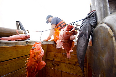 "Sept 24, 2008 20 miles offshore of Morro Bay California. Captain Bill Blue fishing for Black Gill Rock Fish off the coast of Big Sur California using the ""hook and line"", or ""long-line"" method. A new wave in sustainable commercial fishing is pushing fisherman to switch from higher impact methods of harvesting fish like trawling- to hook and line or long line harvest, United States of America"