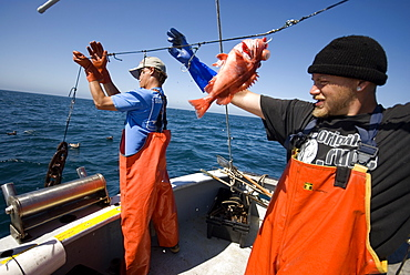 "Sept 26, 2008 Fishing offshore, Big Sur California on the MV Nikki J using the ""hook and line"", or ""long-line"" method of sustainable fishing. Crew: David Anderson & Brian Long Fishing for Black Gill Rock Fish and Sable Fish or ""Black Cod"". A new wave in sustainable commercial fishing is pushing fisherman to switch from higher impact methods of harvesting fish like trawling- to hook and line or long line harvest, United States of America"