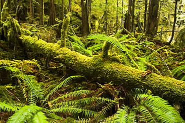 Sword ferns and nurse log along Marymere Falls Trail, Olympic National Park, Washington.