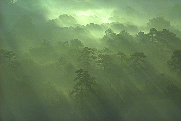 Pine trees with sunlight bands, Houston, TX.