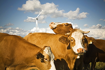 Herd of cows grazing on a farm with a energy generating wind turbine in the background.