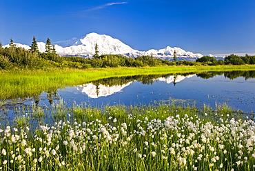 Alaska Cotton with Denali reflected in pond, Denali National Park, Alaska