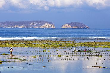 Seaweed farm. Sumbawa. Indonesia.