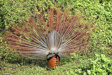 a peacock displaying, Wilpattu National Park, Sri Lanka