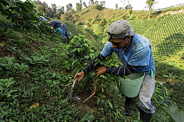 A young man pours fertilizer at the base of young coffee plants on a coffee farm in rural Colombia.