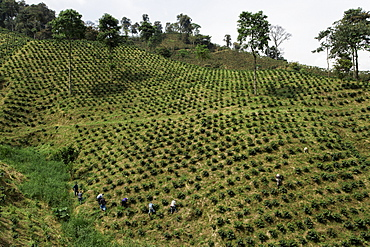 A line of coffee workers on a hillside in rural Colombia on a coffee farm.