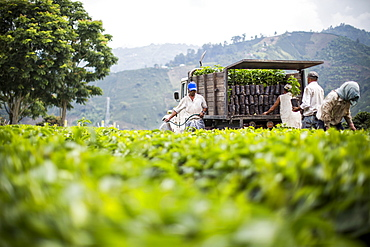 Workers harvest young coffee plants to relocate to other fields in Manizales, Colombia.