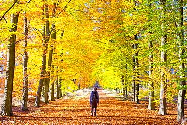 A hiker walks through a grove of European Beech (Fagus sylvatica) trees in Hoge Kempen National Park in autumn, Limburg, Vlaanderen (Flanders), Belgium