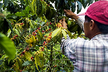 A man picks cherries at a farm in the rural highlands of Colombia's coffee axis.
