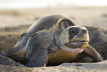An Olive Ridley Sea Turtle lays its eggs in the hole she previously dug out, in Oaxaca, Mexico. - 857-92981