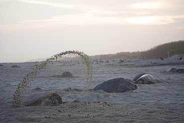An Olive Ridley Sea Turtle throws sand everywhere, while digging the hole where she will lay her eggs in Oaxaca, Mexico.