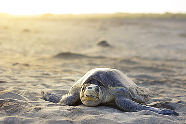 An Olive Ridley Sea Turtle explores the beach for a suitable place to lay her eggs. - 857-92984